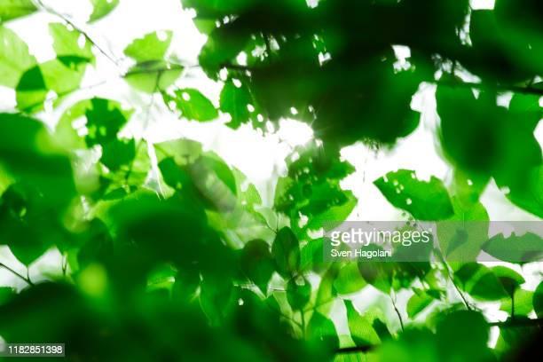 sun shining into hole-filled leaves - árvore de folha caduca - fotografias e filmes do acervo
