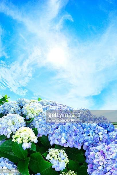 Sun Shining Over Hydrangea Flowers