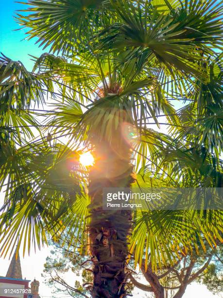 sun shining through a palm tree, bird visible on a branch, near lake geneva, in montreux - switzerland - montreux stock pictures, royalty-free photos & images