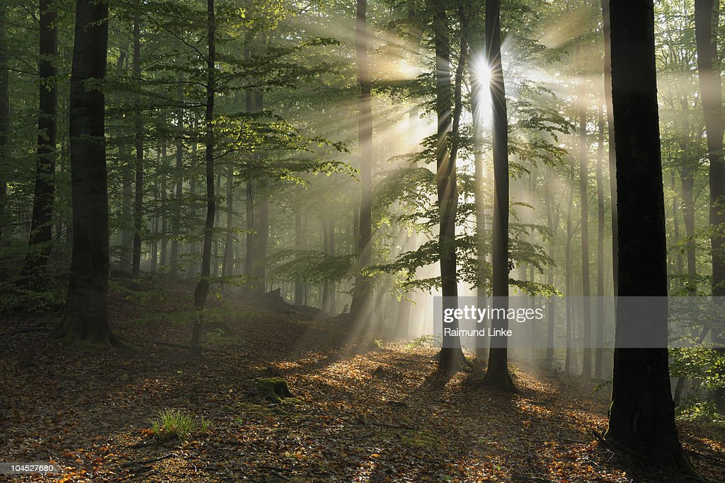 Sun shining through beech forest . : Foto de stock