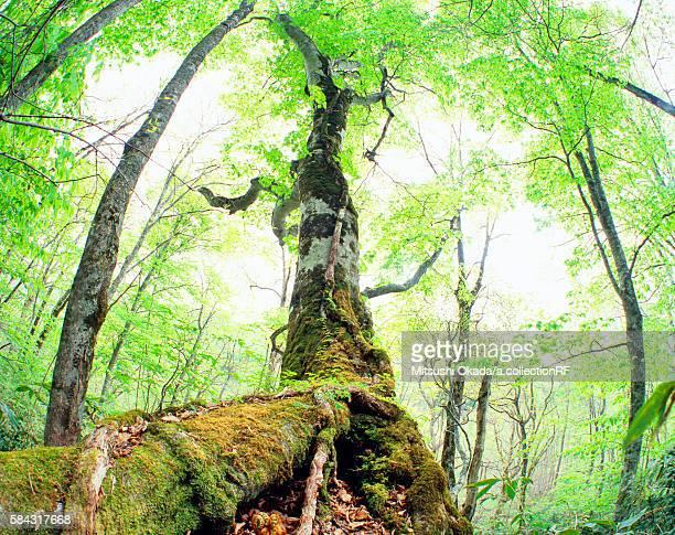 Sun shining through beech tree
