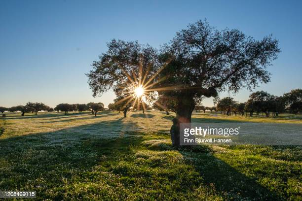 sun shining through branches of an old olive tree in a green field with white flowers - finn bjurvoll stock pictures, royalty-free photos & images