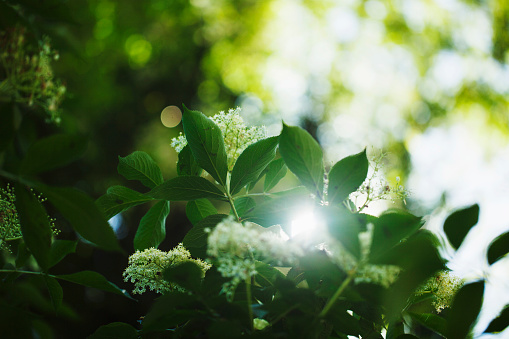Sun shining through elder (Sambucus) leaves and flowers in springtime - gettyimageskorea