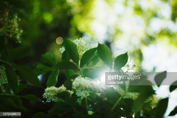 sun shining through elder (sambucus) leaves and flowers in springtime - 青々とした ストックフォトと画像