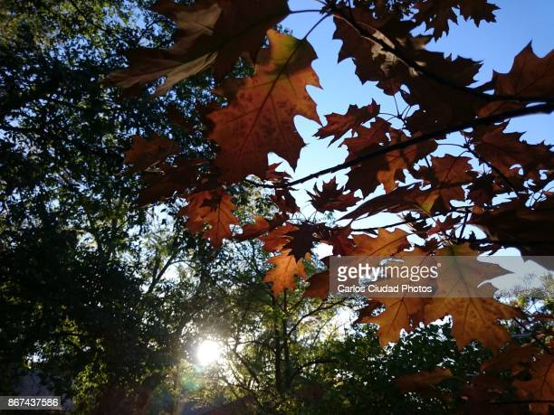 Sun shining through green and red leaves in autumn