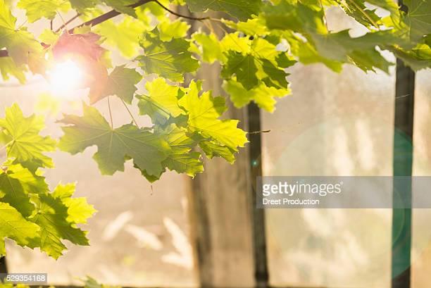 Sun shining through maple leaves in greenhouse, Munich, Bavaria, Germany