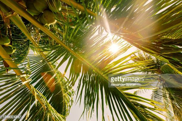 sun shining through palm tree leaves, low angle view - palm tree stock pictures, royalty-free photos & images