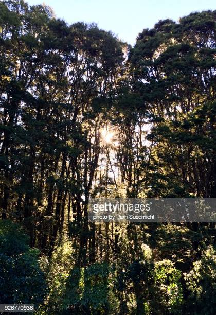 Sun Shining Through Stand of Kauri Trees, South Island, New Zealand