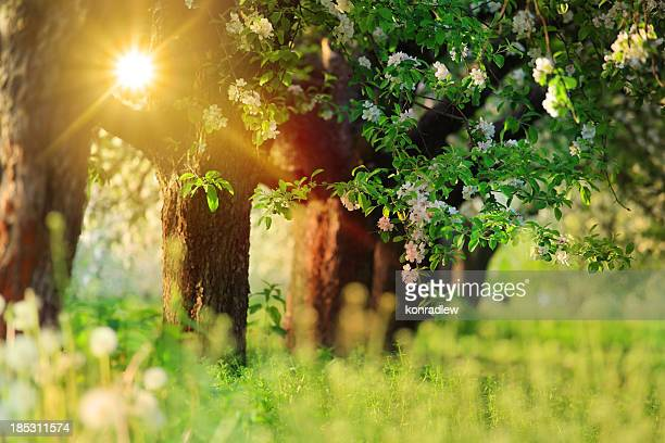 Sun Shining through the Blooming Tree - Spring Orchard