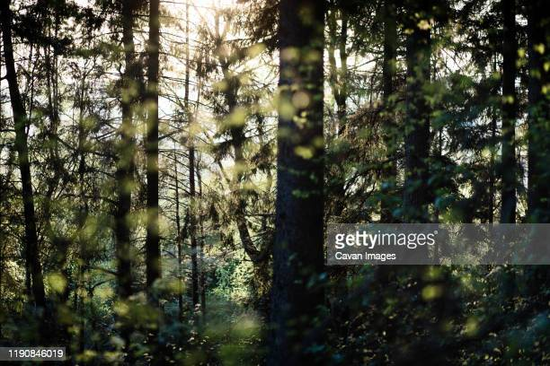 sun shining through the trees in the woods in thuringia, germany. - western europe stock pictures, royalty-free photos & images