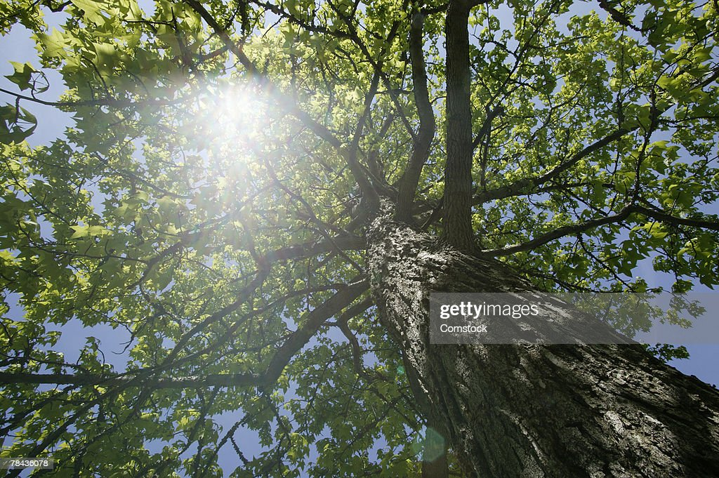 Sun shining through tree : Stockfoto