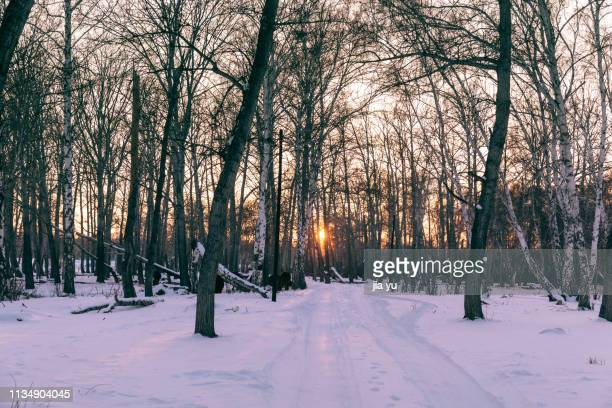 sun shining through trees in winter during sunset - bare tree stock pictures, royalty-free photos & images