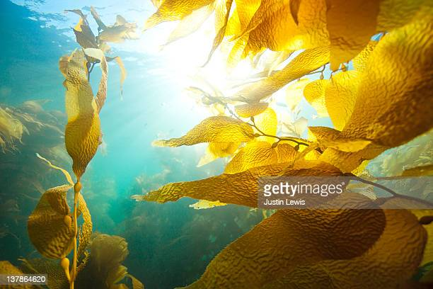 Sun shining through underwater kelp forest