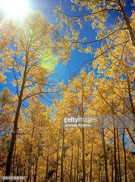 sun shinning above aspen trees (populus tremuloides), low angle view - park city utah stock pictures, royalty-free photos & images