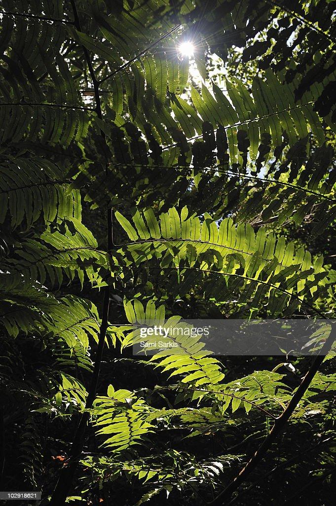 Sun spotting through fern leaves in rainforest : Stock Photo