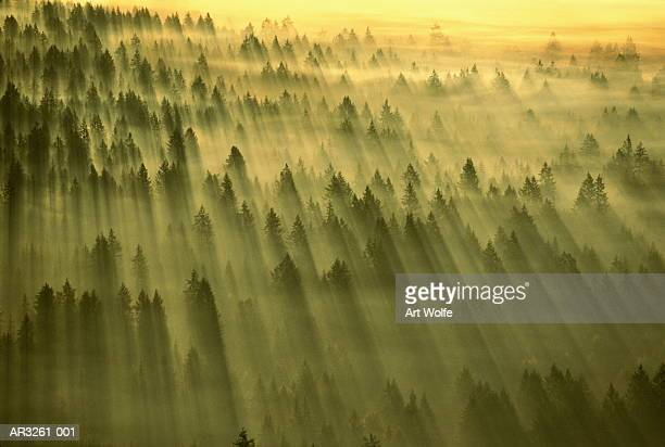 Sun streaming through dawn mist over forest, Washington, USA