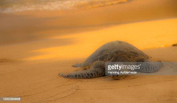 sunbathing - green turtle stock pictures, royalty-free photos & images