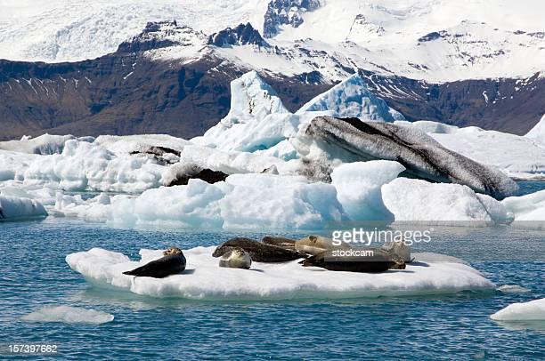Sunbathing seals in Iceland