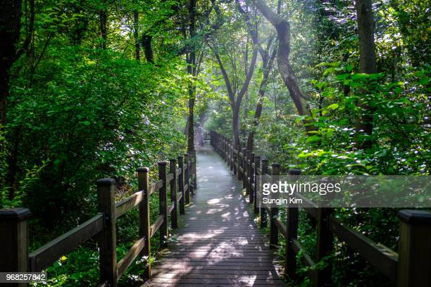 sunbeam over the boardwalk at bijarim forest - jeju stock photos and pictures
