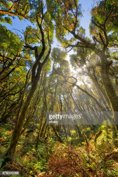 Sunbeam rays through treetops in Laurisilva / Fog forest in Garajonay National Park in La Gomera / Spain