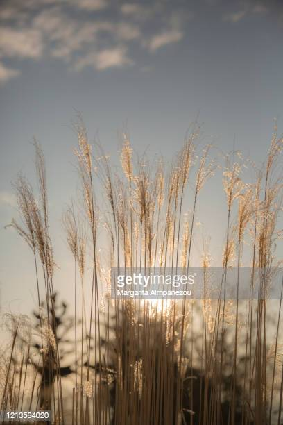 sunbeams behind reed flowers - reed grass family stock pictures, royalty-free photos & images