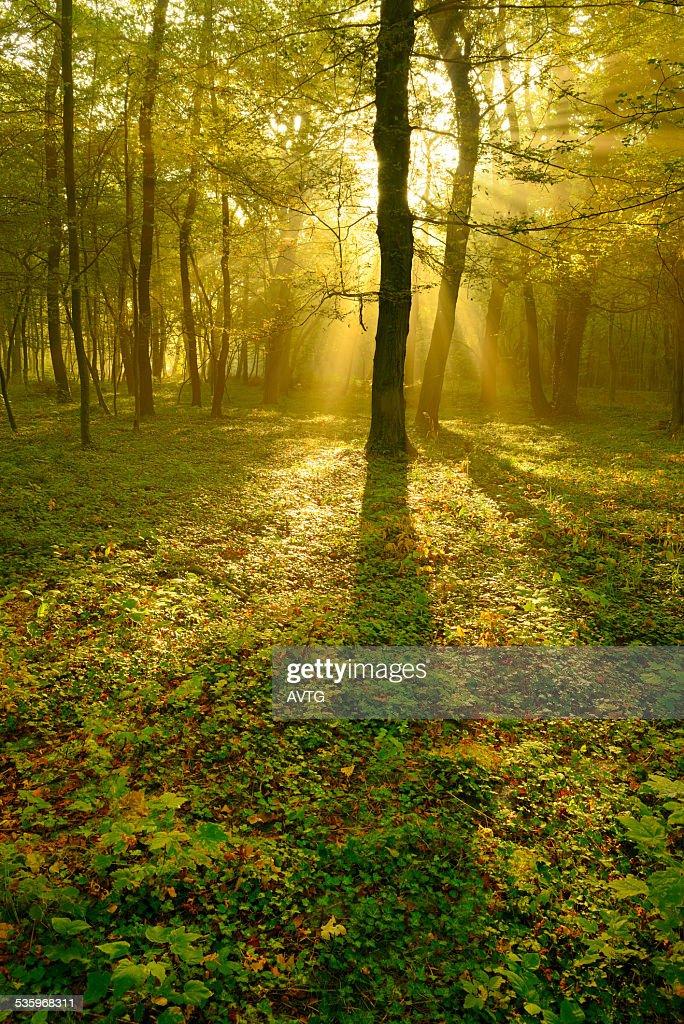 Sunbeams breaking through Beech Tree Forest at Sunrise : Stock Photo
