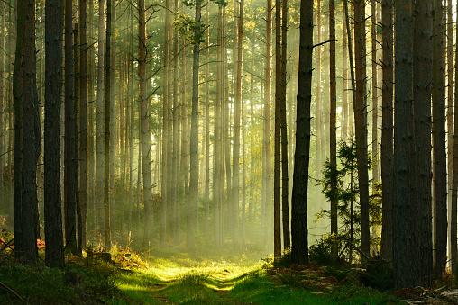 Sunbeams breaking through Pine Tree Forest at Sunrise 533577883