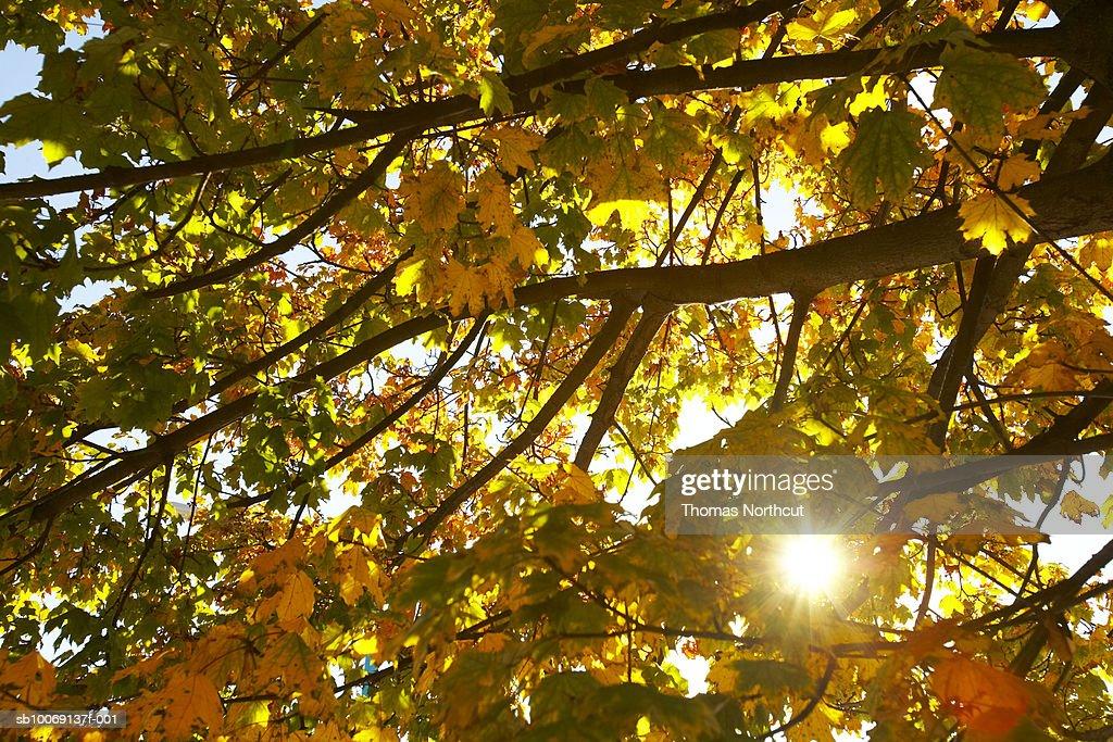 Sunbeams in autumn leaves : Stockfoto