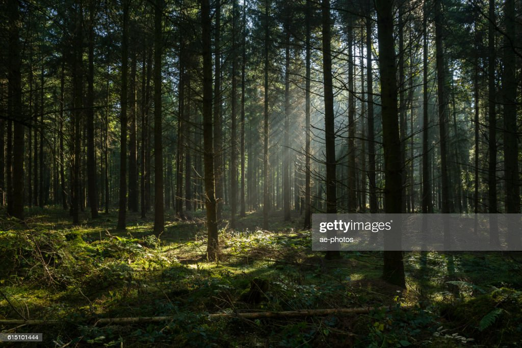Sunbeams in dark and foggy autumn forest : Stock Photo