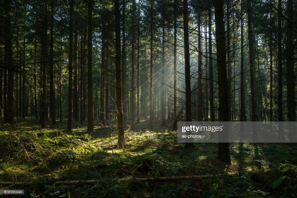 Raggi di sole nella foresta autunnale buia e nebbiosa : Foto stock