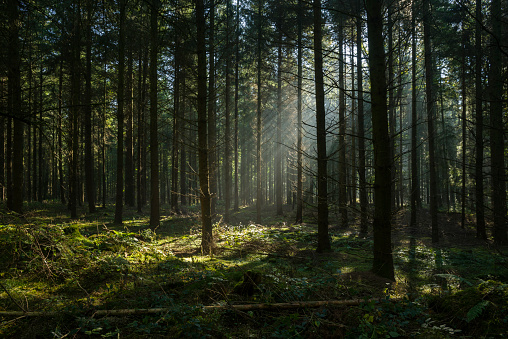 Sunbeams in dark and foggy autumn forest 615101444