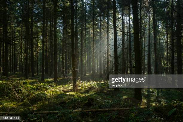 sunbeams in dark and foggy autumn forest - zonnestraal stockfoto's en -beelden