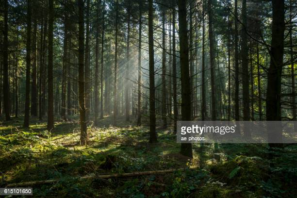 sunbeams in dark and foggy autumn forest - spirituality stock photos and pictures