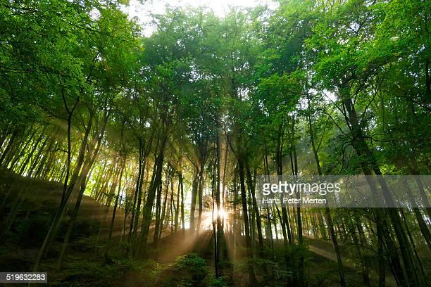 sunbeams in foggy woodland