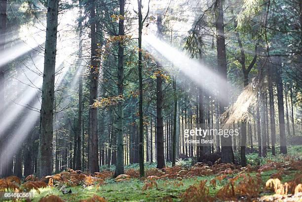 Sunbeams in Forest of Dean, Bristol, UK