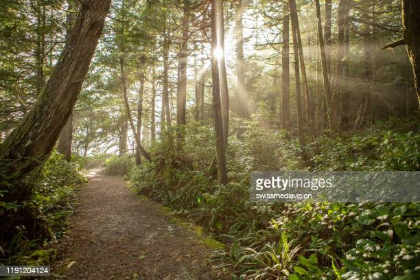 sunbeams in rainforest - vancouver island stock pictures, royalty-free photos & images