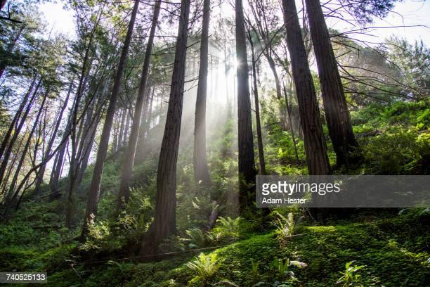 sunbeams on forest trees - oakland condado de alameda fotografías e imágenes de stock