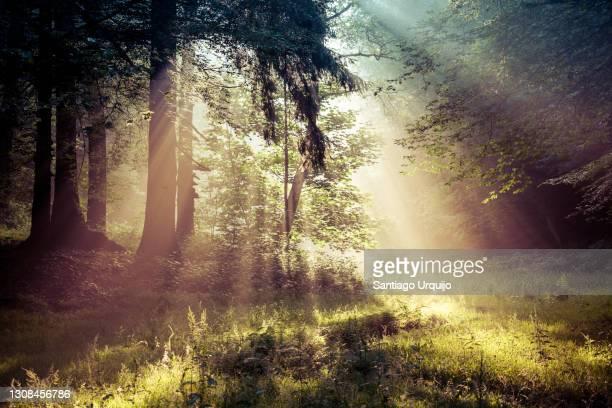 sunbeams piercing a forest at sunrise - schwarzwald stock-fotos und bilder