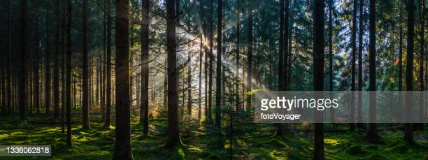 sunbeams shining through idyllic mossy forest woodland wilderness panorama - named wilderness area stock pictures, royalty-free photos & images