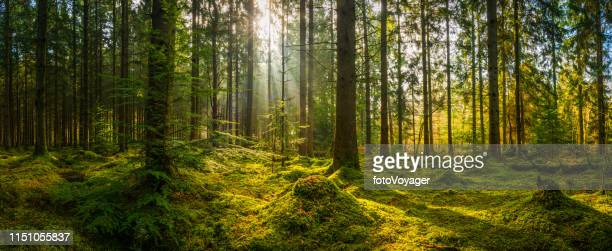 sunbeams shining through woodland wilderness illuminating idyllic mossy forest panorama - forest floor stock photos and pictures