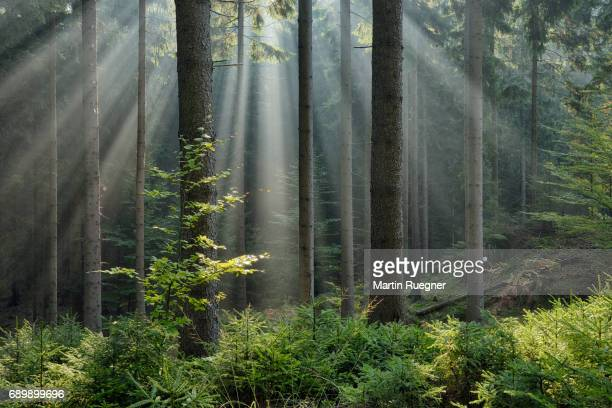 sunbeams through fog in forest. - naturwald stock-fotos und bilder