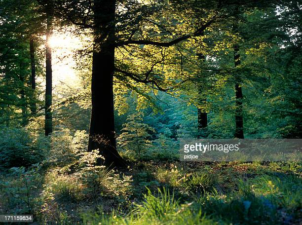 sunbeams through oak trees in forest