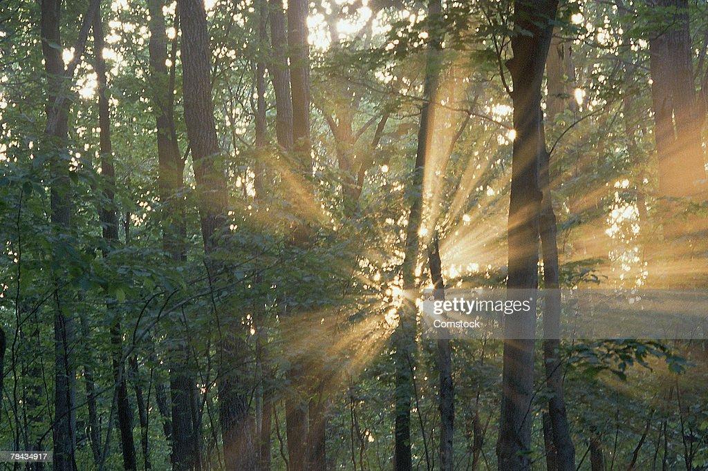 Sunbeams through trees : Stockfoto