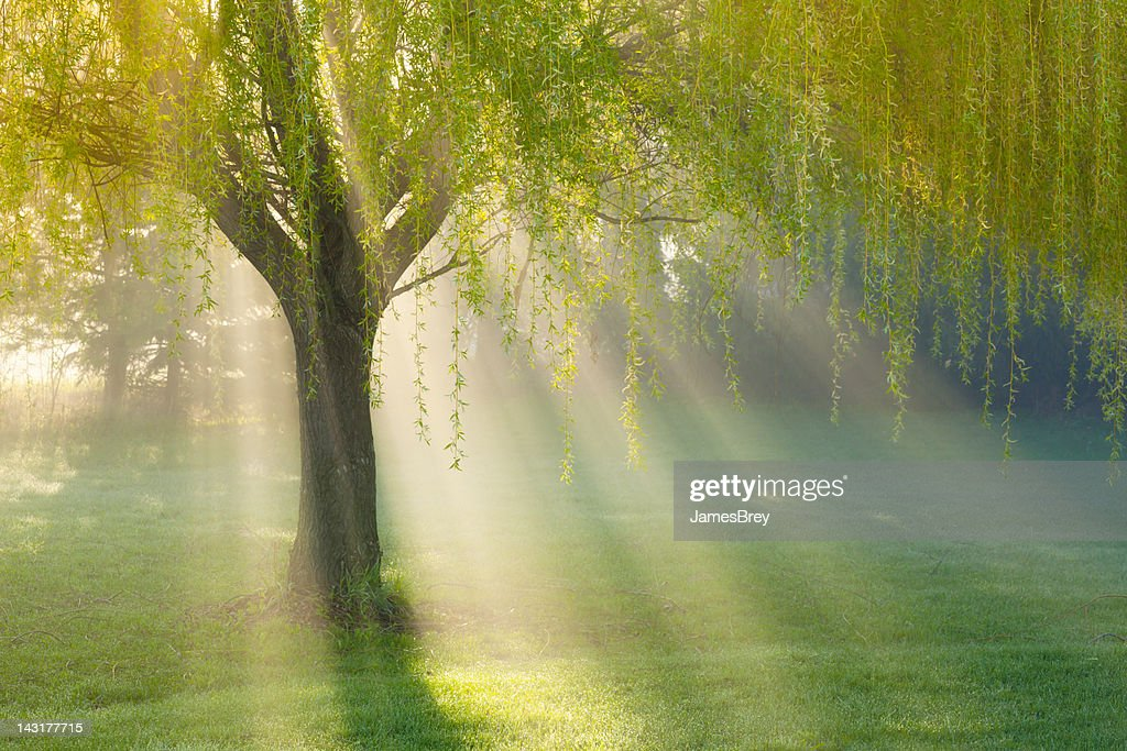 Sunbeams Through Willow Tree in Morning Fog : Stock Photo