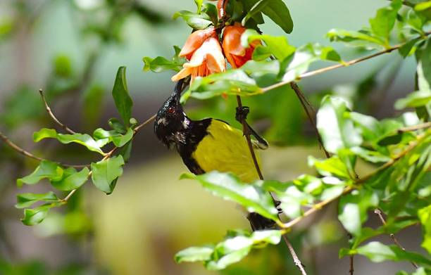 sunbird drinking nectar from pomegranate flower/nagpur - pomegranate tree stock photos and pictures
