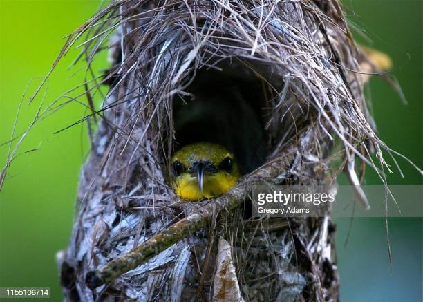 sunbird in its nest.  dunk island, queensland, australia - 穴 ストックフォトと画像