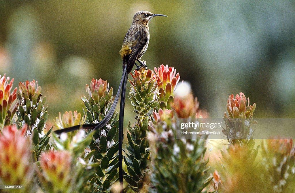 Sunbird, Kirstenbosch Botanical Gardens, Cape Town, South Africa