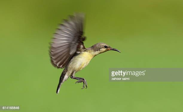sunbird - markhor stock photos and pictures