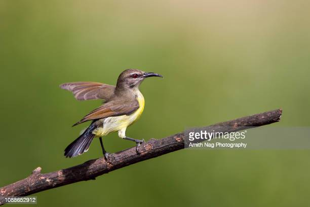 A sunbird readying for takeoff