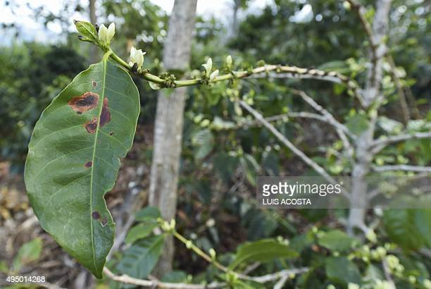 A sunburned coffee leaf in La Tola plantation El Tambo Narino Department on October 21 2015The severe drought in Colombia caused by the El Nino...
